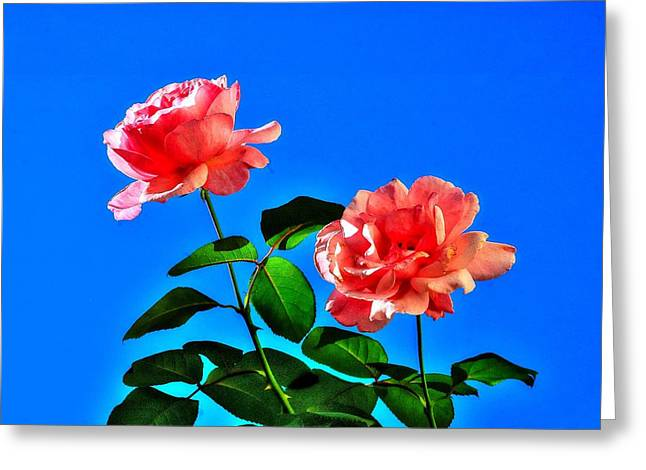 Pink Rose Greeting Card by Ed Roberts