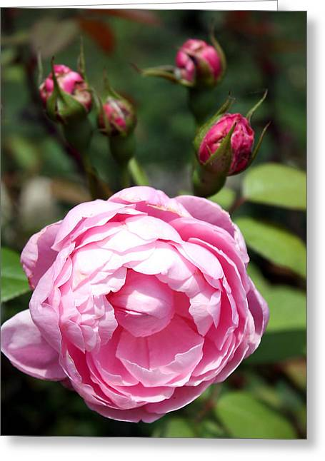 Greeting Card featuring the photograph Pink Rose by Ellen Tully
