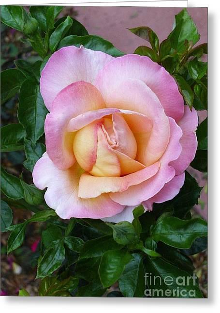 Pink Rose Flowering Greeting Card