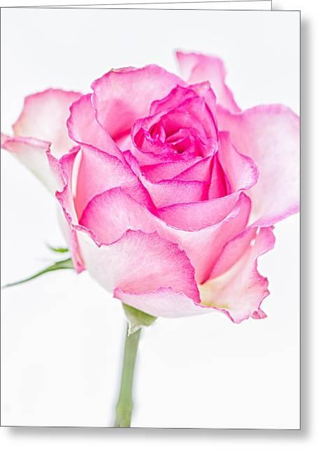 Pink Rose Glory Greeting Card