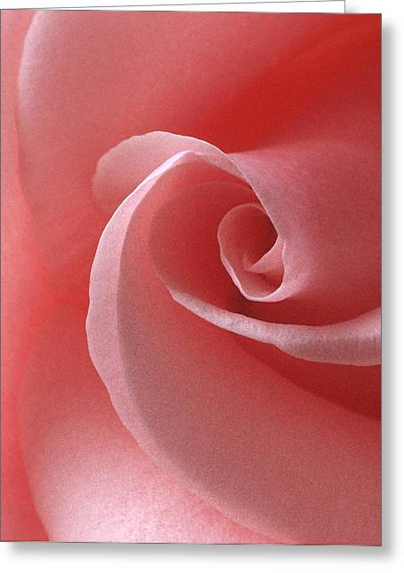 Pink Rose II Greeting Card