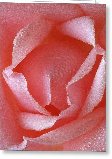 Pink Rose IIi Greeting Card