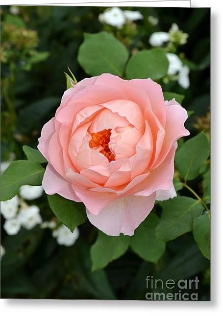 Pink Rose In Hamburg Planten Und Blomen Greeting Card by Eva Kaufman