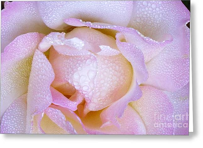 Pink Rose In The Morning Greeting Card