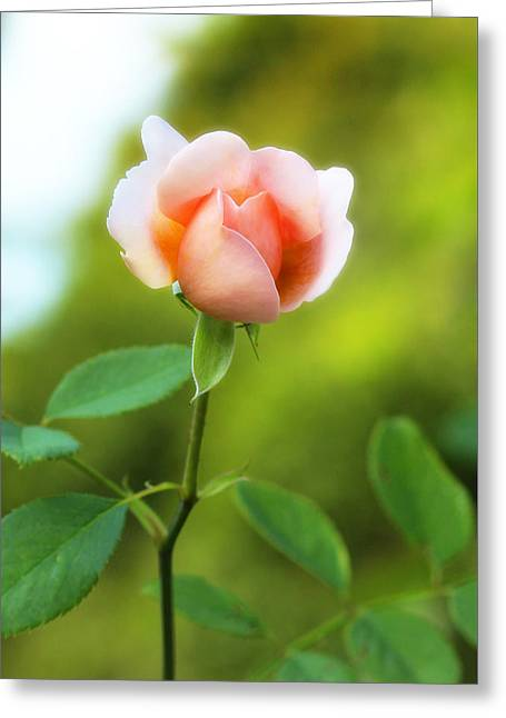 Pink Rose Greeting Card by Jim Poulos