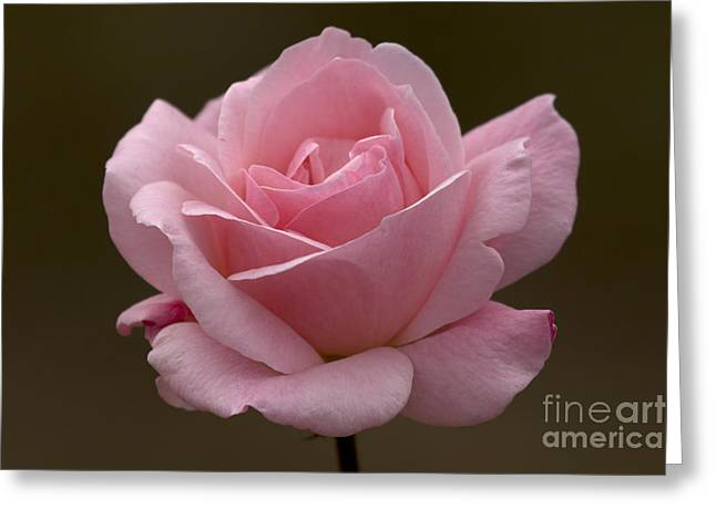 Greeting Card featuring the photograph Pink Rose by Meg Rousher
