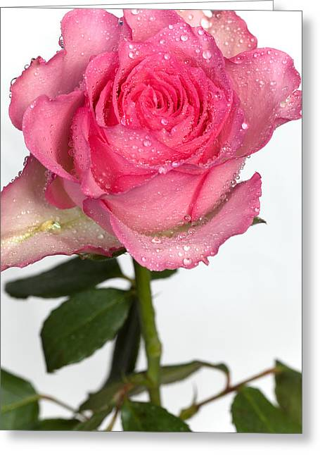 Pink Rose  Greeting Card by Paul Lilley