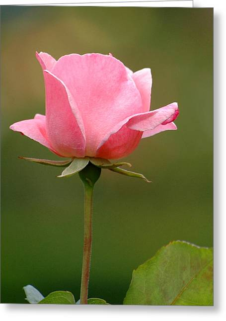 Greeting Card featuring the photograph Pink Rose by Rob Huntley