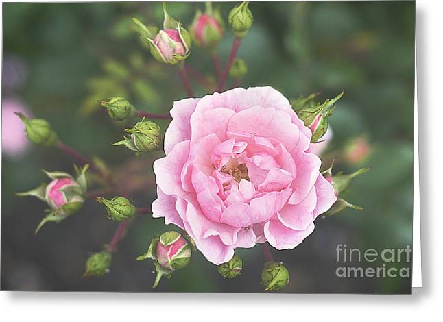 Pink Rose The Queen Greeting Card by Ivy Ho