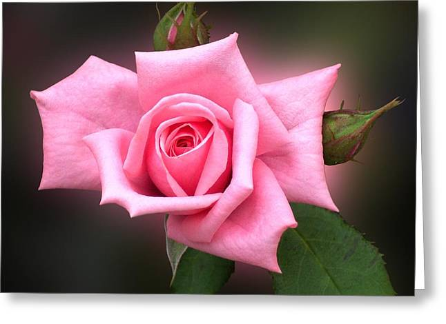 Pink Rose Greeting Card by Thomas Woolworth