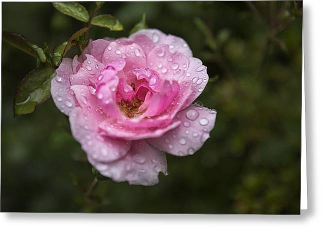 Pink Rose With Raindrops Greeting Card