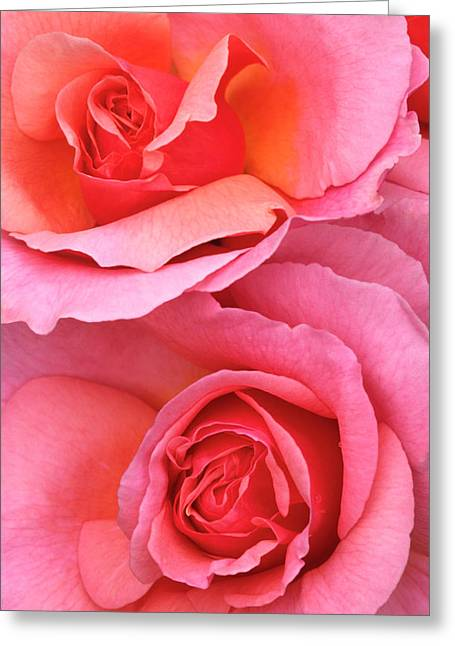 Pink Roses Abstract Greeting Card by Nigel Downer