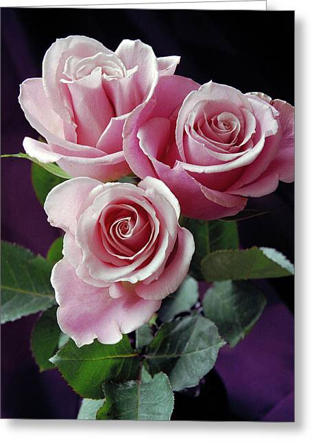 Pink Roses Greeting Card by Anna Miller