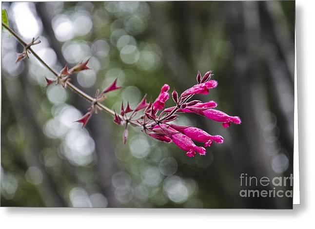 Pink Sage Greeting Card by Aaron Fromenthal
