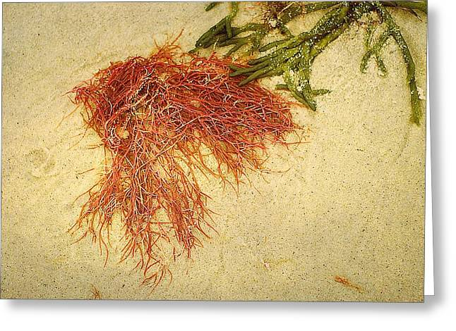 Pink Seaweed Red River Beach Harwich Cape Cod Ma Greeting Card by Suzanne Powers