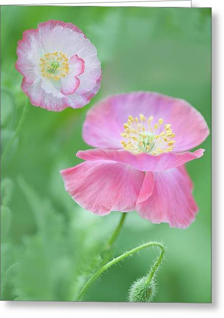 Pink Shirley Poppies Greeting Card