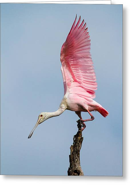 Pink Spoonbill Ready For Takeoff Greeting Card by Bill Swindaman