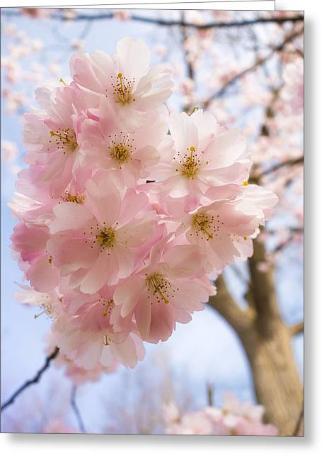 Pink Spring Blossom Light Blue Sky Greeting Card by Matthias Hauser