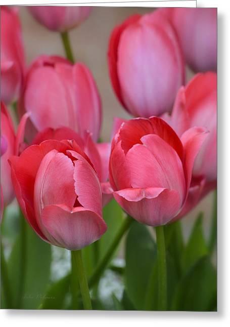 Pink Spring Tulips Greeting Card