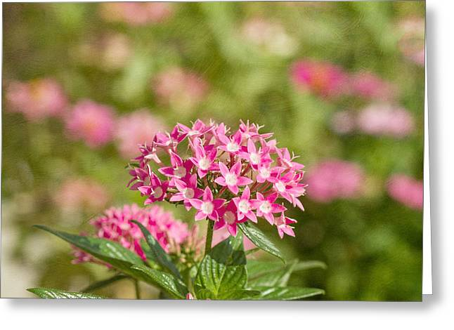Pink Star Cluster Flower Greeting Card by Kim Hojnacki