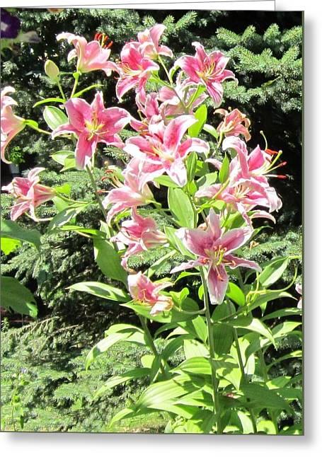 Pink Stargazer Lilies-greeting Card Greeting Card