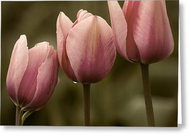 Pink Trio Greeting Card by Sonya Lang
