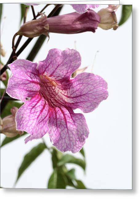 Pink trumpet vine podranea ricasoliana photograph by dan sams pink trumpet vine podranea ricasoliana greeting card by dan samsscience photo library mightylinksfo