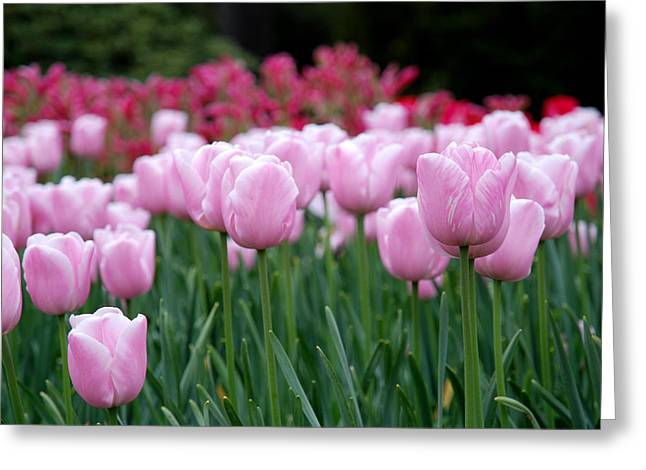 Pink Tulip Garden Greeting Card by Jennifer Ancker