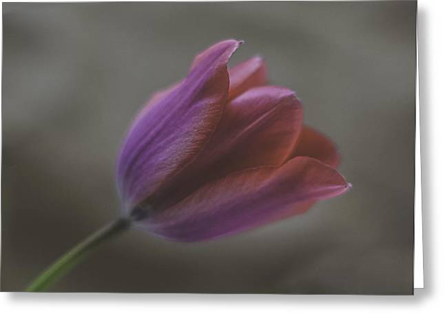 Pink Tulip Greeting Card by Ron Roberts