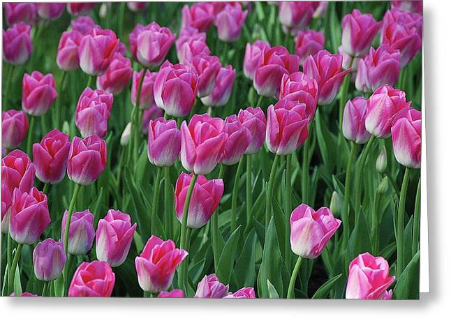 Greeting Card featuring the photograph Pink Tulips 2 by Allen Beatty