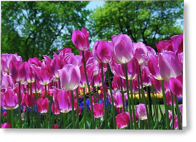 Greeting Card featuring the photograph Pink Tulips by Allen Beatty