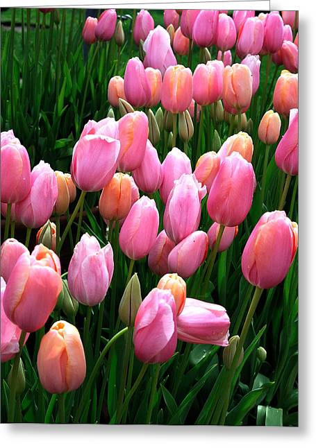Greeting Card featuring the photograph Pink Tulips by Haleh Mahbod