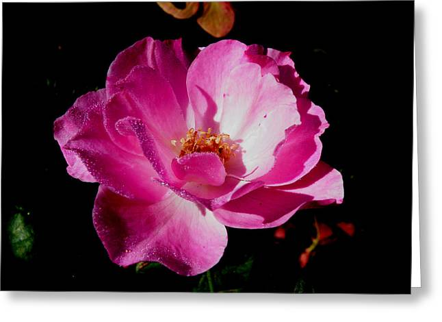 Pink Velvet Greeting Card by Kimmary I MacLean