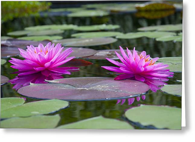 Pink Water Lillies Greeting Card by Bill Cannon