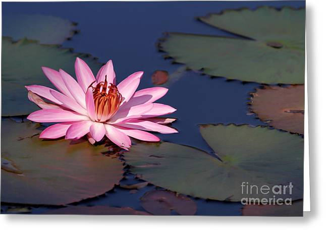 Pink Water Lily In The Spotlight Greeting Card by Sabrina L Ryan