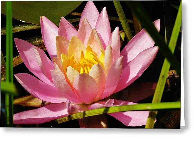 Pink Water Lily Greeting Card by Sherman Perry