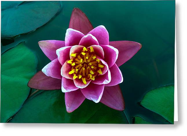 Rose Waterlily Greeting Card by Allan Levin