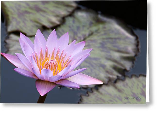 Pink Water Lily At Dusk Greeting Card by Yvonne Wright