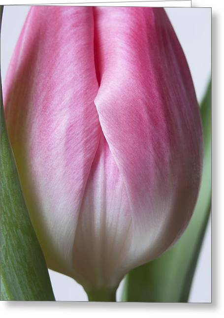 Close Up Pink White Tulips Flowers Macro Photography Art Work Greeting Card