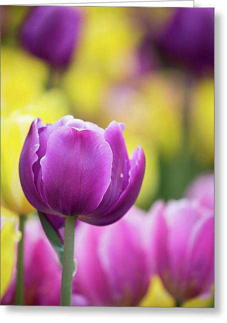 Pink, Yellow And Purple Tulips Blooming Greeting Card