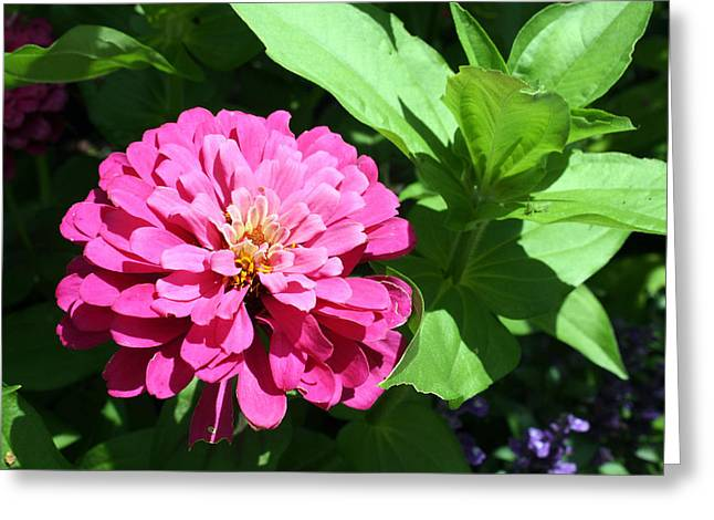 Greeting Card featuring the photograph Pink Zinnia by Ellen Tully