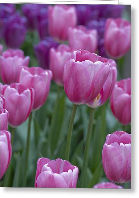 Pinks And Purples Greeting Card