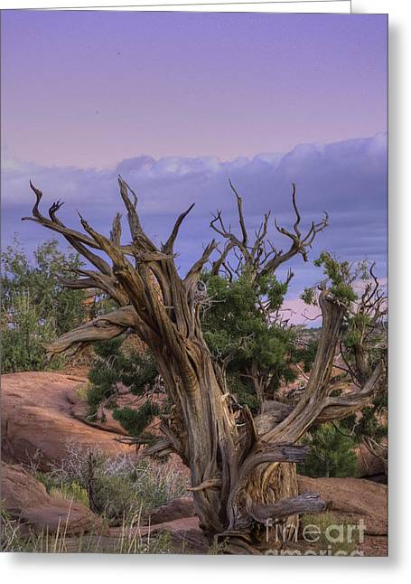 Pinon Pine Greeting Card