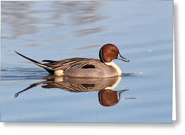 Pintail Drake Reflections Greeting Card