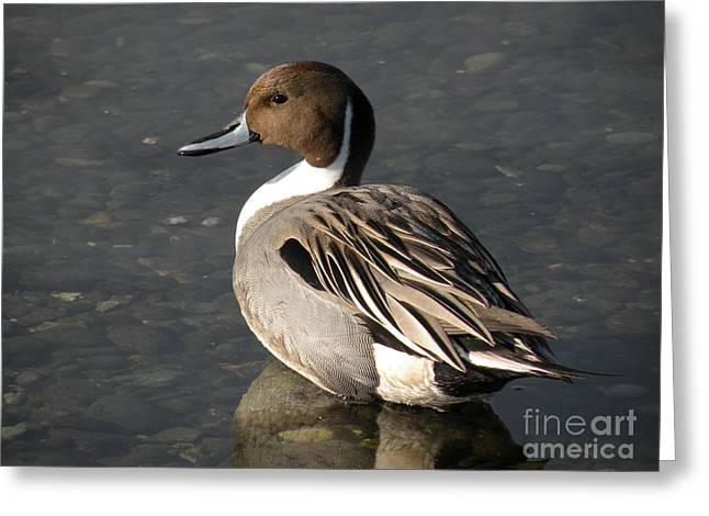 Pintail Duck Greeting Card by Val Carosella