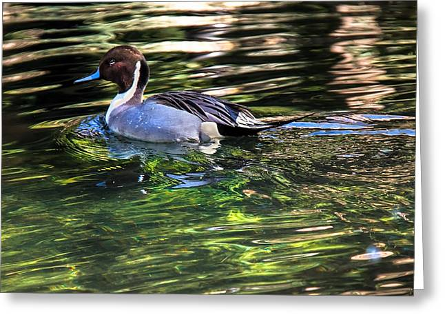 Pintail Greeting Card by Robert Bales