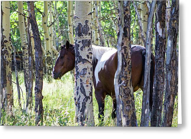 Pinto Or Paint Horses In Aspen Trees Greeting Card
