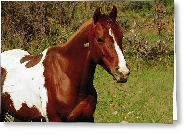 Pinto Pony In Meadow On La Sal Mountain Greeting Card by Michel Hersen
