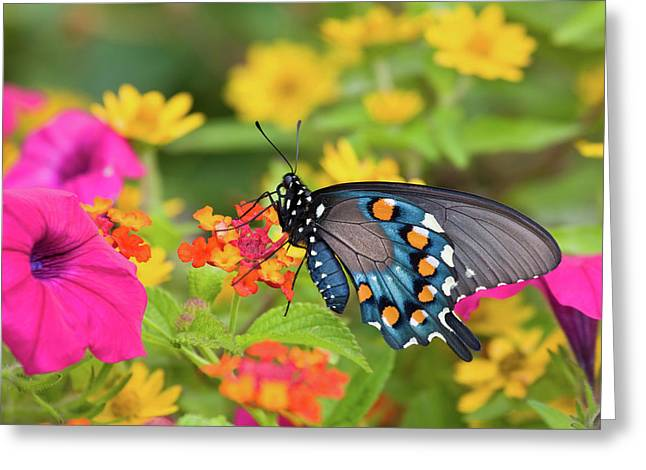 Pipevine Swallowtail Battus Philenor Greeting Card