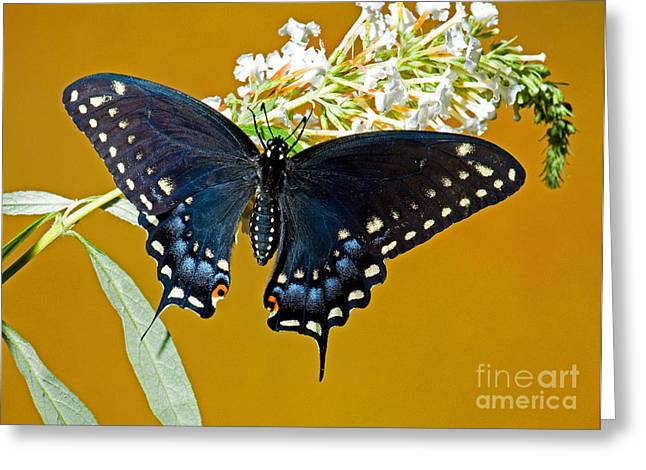 Pipevine Swallowtail Butterfly Greeting Card
